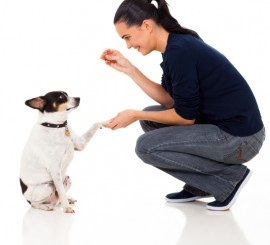 dog trainer working with small dog
